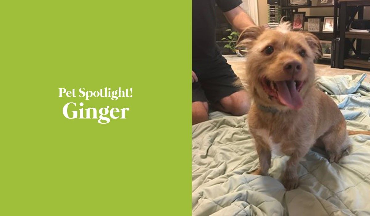 pet-spotlight-ginger