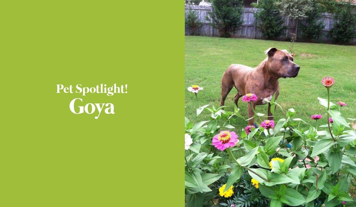 pet-spotlight-goya
